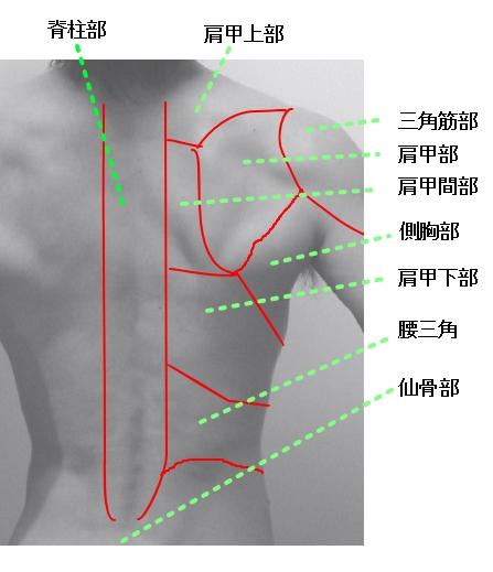 胸部と体幹部・背部の解剖 指の骨です  胸部と体幹部・背部の解剖